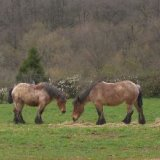 Animal - Horse (Equus ferus caballus) - Panoramic Ponies