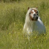Animal - Horse (Equus ferus caballus) - This long grass is no laughing-matter for a Shetland Pony