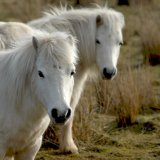 Animal - Horse (Equus ferus caballus) - Two of a kind (Shetland Ponies)