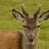 Animal - Red Deer (Cervus elaphus)