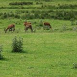 Animal - Red Deer (Cervus elaphus) - Small Herd In a field of thistles