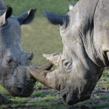 Animal - Rhinoceros (Rhinocerotidae) - Seeing eye to eye