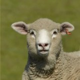 Animal - Sheep (Ovis aries) - Curious Sheep