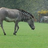 Animal - Zebra (Equus quagga) - Zebra Crossing