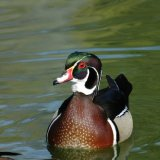 Bird - American Wood Duck (Aix Sponsa)