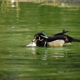 Bird - American Wood Duck (Aix Sponsa) - And, em, a friend...