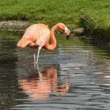 Bird - Andean Flamingo (Phoenicopterus Andinus - In the Pink and in the Pond