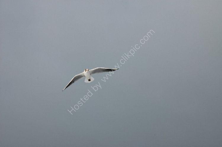 Bird - Common Gull (Larus canus) - White Gull - Dark Sky