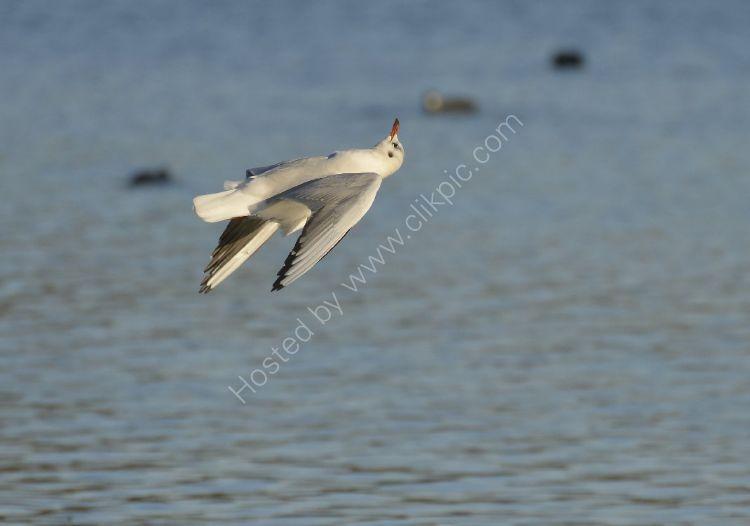 Bird - Common Gull (Larus canus) in winter plumage - Acrobatics