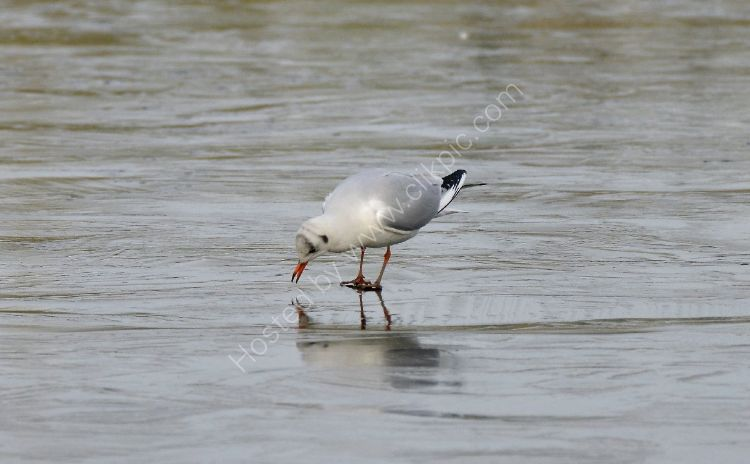 Bird - Common Gull (Larus canus) in winter plumage - Pecking at the Ice