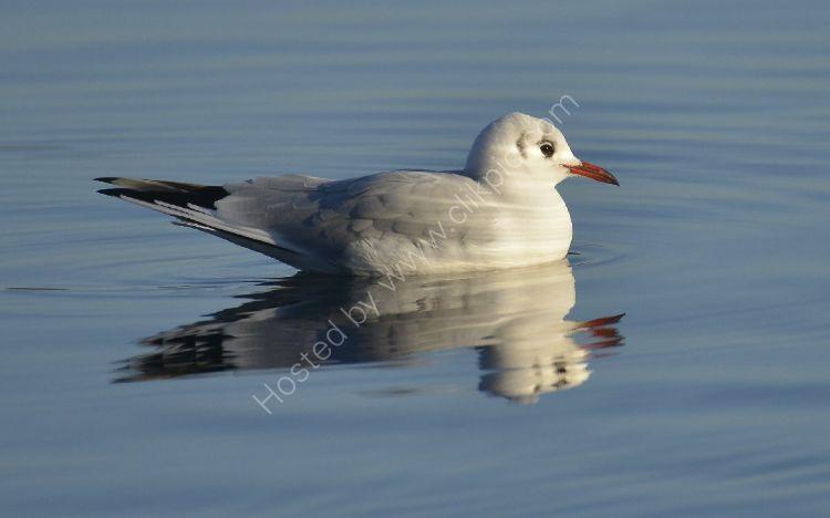 Bird - Common Gull (Larus canus) in winter plumage - Seagull Serenity