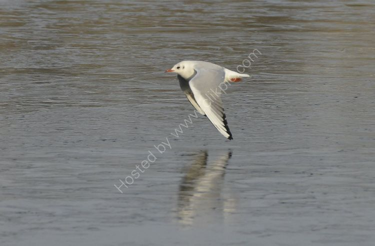 Bird -Common Gull (Larus canus) in winter plumage - Wing tips just above the ice