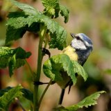 Bird - Blue Tit (Parus caeruleus) - At the Blackberry Bush