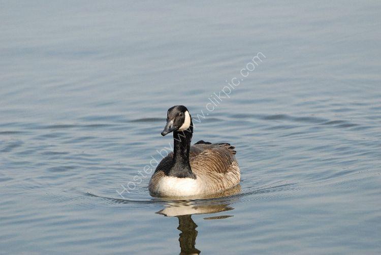 Bird - Canada Goose (Branta canadensis)