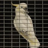 Bird - Citron-Crested Cockatoo (Cacatua sulphurea citrinocristata) - Bird in a Guilded Cage