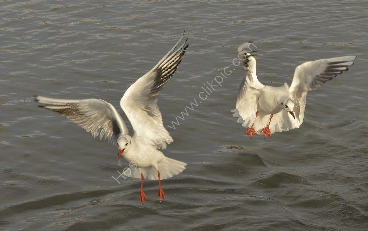Bird - Common Gull (Larus canus) - Dropping In