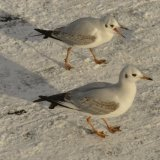 Bird - Common Gull (Larus canus) - Nag, nag nag nag nag.....