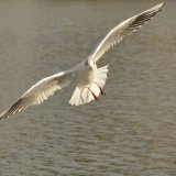 Bird - Common Gull (Larus canus) - On the hunt