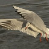Bird - Common Gull (Larus canus) - The Swoop