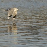 Bird - Common Gull (Larus canus) in winter plumage - Low Flying