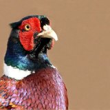Bird - Common Pheasant (Phasianus colchicus) - A Pheasant Portrait
