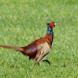 Bird - Common Pheasant (Phasianus colchicus) - Strutting Out