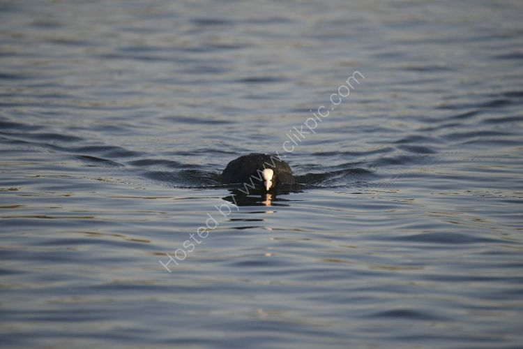 Bird - Coot (Fulica atra) - Determined Approach