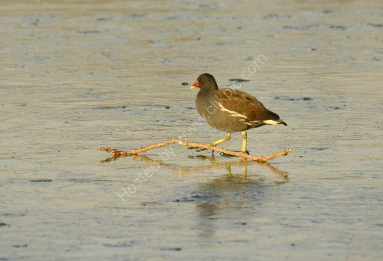 Bird - Coot (Fulica atra) - Ice Hurdle
