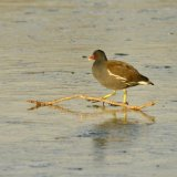 Bird - Coot (Fulica atra) - Ice Hurdle