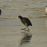 Bird - Coot (Fulica atra) - Ice Skating