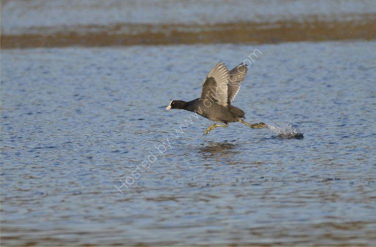 Bird - Coot (Fulica atra) - Scooting across the Loch