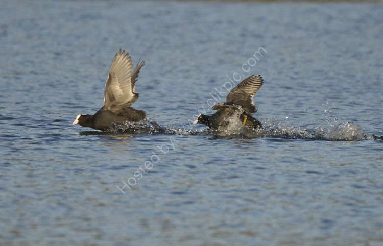 Bird - Coot (Fulica atra) - The Chase right to left