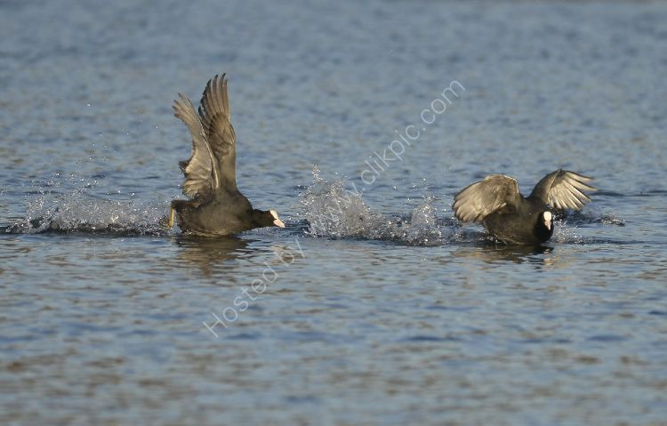 Bird - Coot (Fulica atra) - The Chase left to right