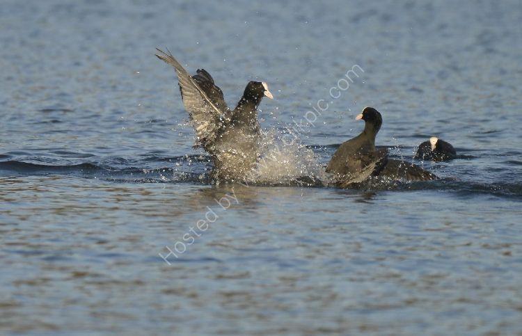 Bird - Coot (Fulica atra) - The Fight
