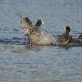 Bird - Coot (Fulica atra) - The Fight