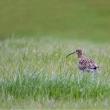Bird - Curlew (Numenius arquata)