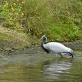 Bird - Demoiselle Crane (Anthropoides Virgo) - Taking a Dip