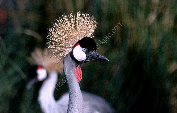 Bird - Grey Crowned Crane (Balearica regulorum)