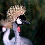 Bird - Grey Crowned Crane (Balearica regulorum)