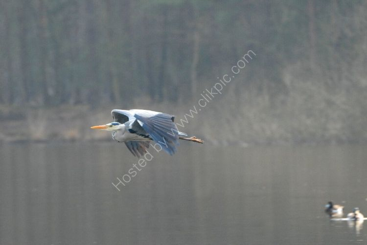 Bird - Grey Heron (Ardea cinerea) - Flying over the Moat