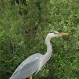 Bird - Grey Heron (Ardea cinerea) - at Crichie