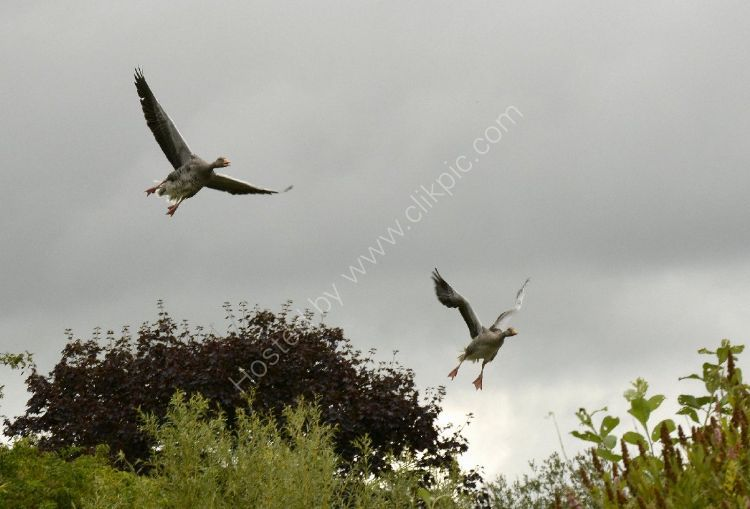 Bird - Greylag Goose (Anser anser) - Landing Gear Down