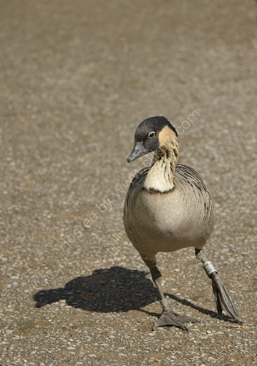 Bird - Hawaiian Goose (Nene)  - (Branta Sandvicensis) - Hawaiin Dancer