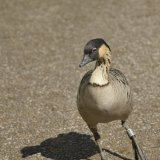 Bird - Hawaiian Goose (Nene)  - (Branta Sandvicensis) - Hawaiin Dancer