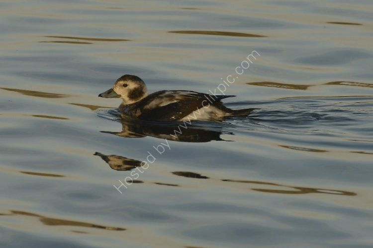 Bird - Long Tailed Duck (Clangula hyemalis) Female (with short tail)