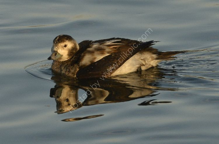 Bird - Long Tailed Duck (Clangula hyemalis) Female (with short tail) in winter plumage