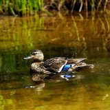 Bird - Mallard Duck (Anas platyrhynchos) - At the Moat