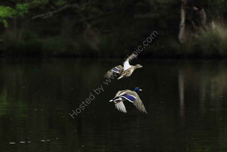 Bird - Mallard Duck (Anas platyrhynchos) - Over the Moat