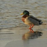 Bird - Mallard Duck (Anas platyrhynchos) - Walk on Water