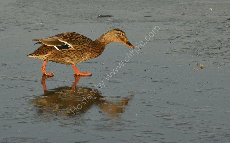 Bird - Mallard Duck (Anas platyrhynchos) - Yes, it really is frozen